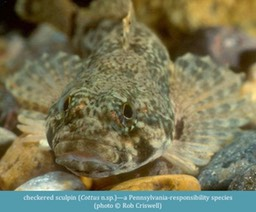 checkered sculpin Cottus n.sp. ©Rob Criswell