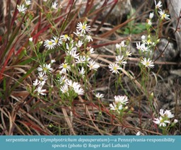 serpentine aster Symphyotrichum depauperatum ©Roger Earl Latham